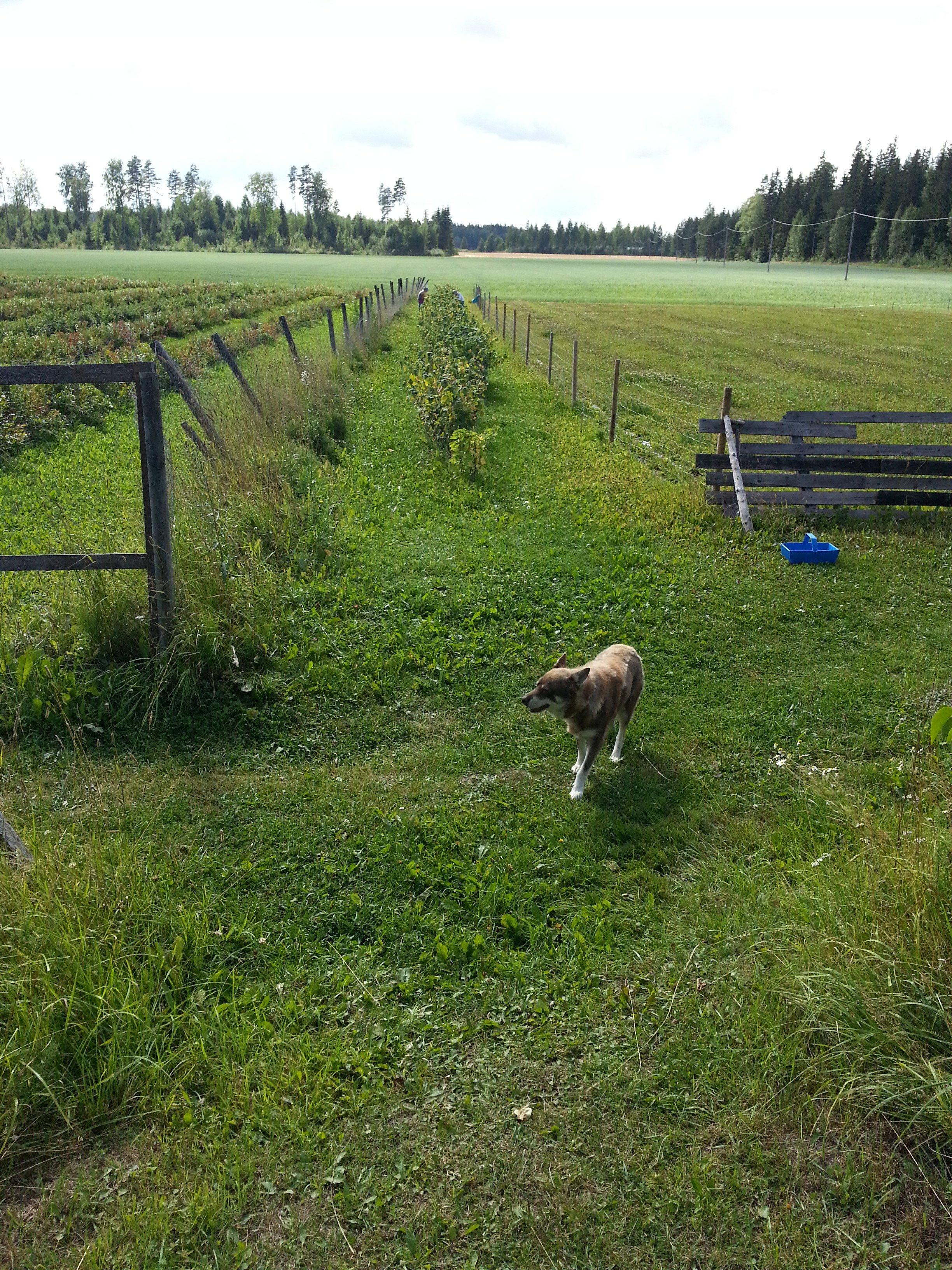 The farm's friendly Lapland Husky dog