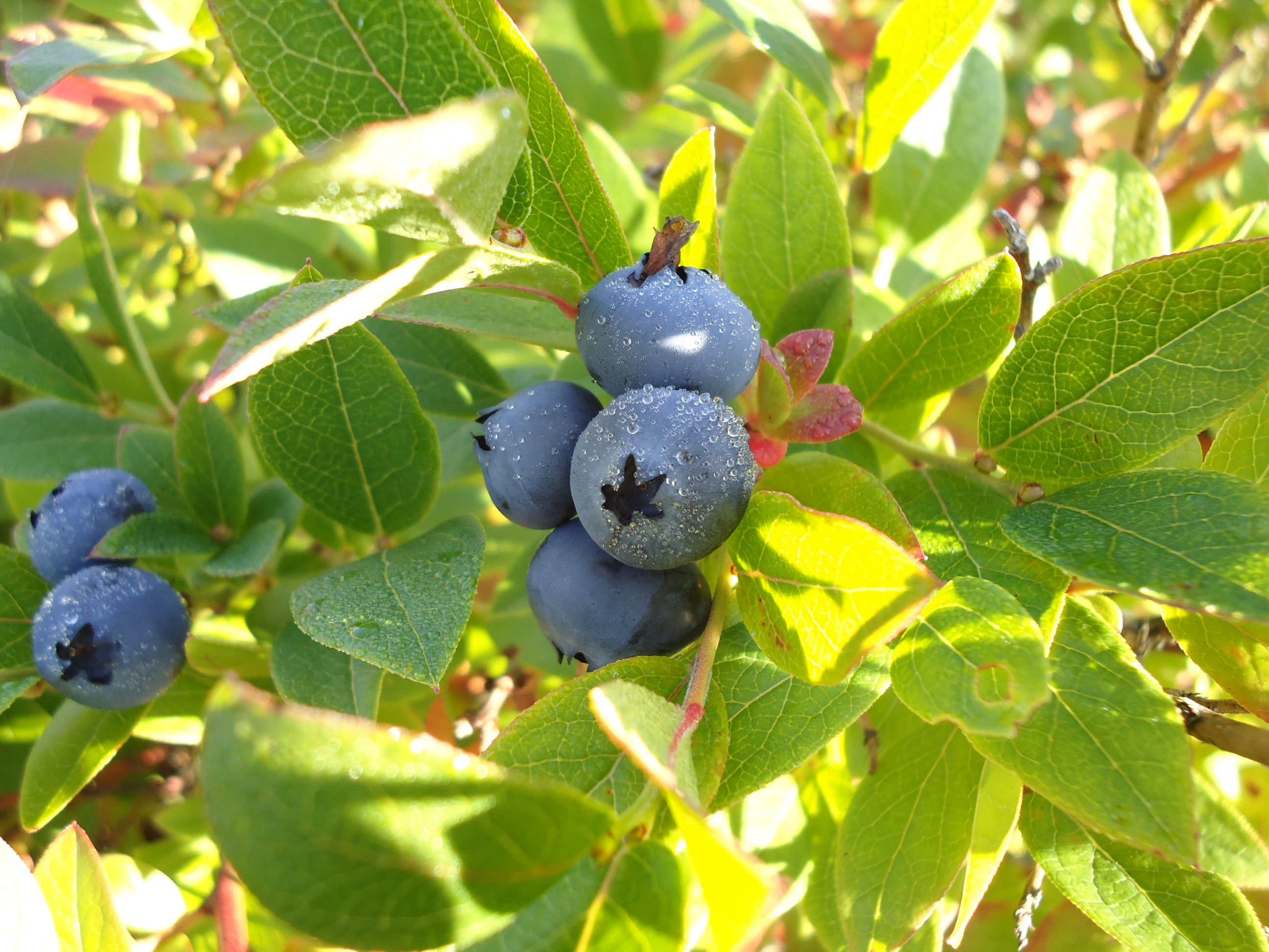 Blueberries in the morning dew
