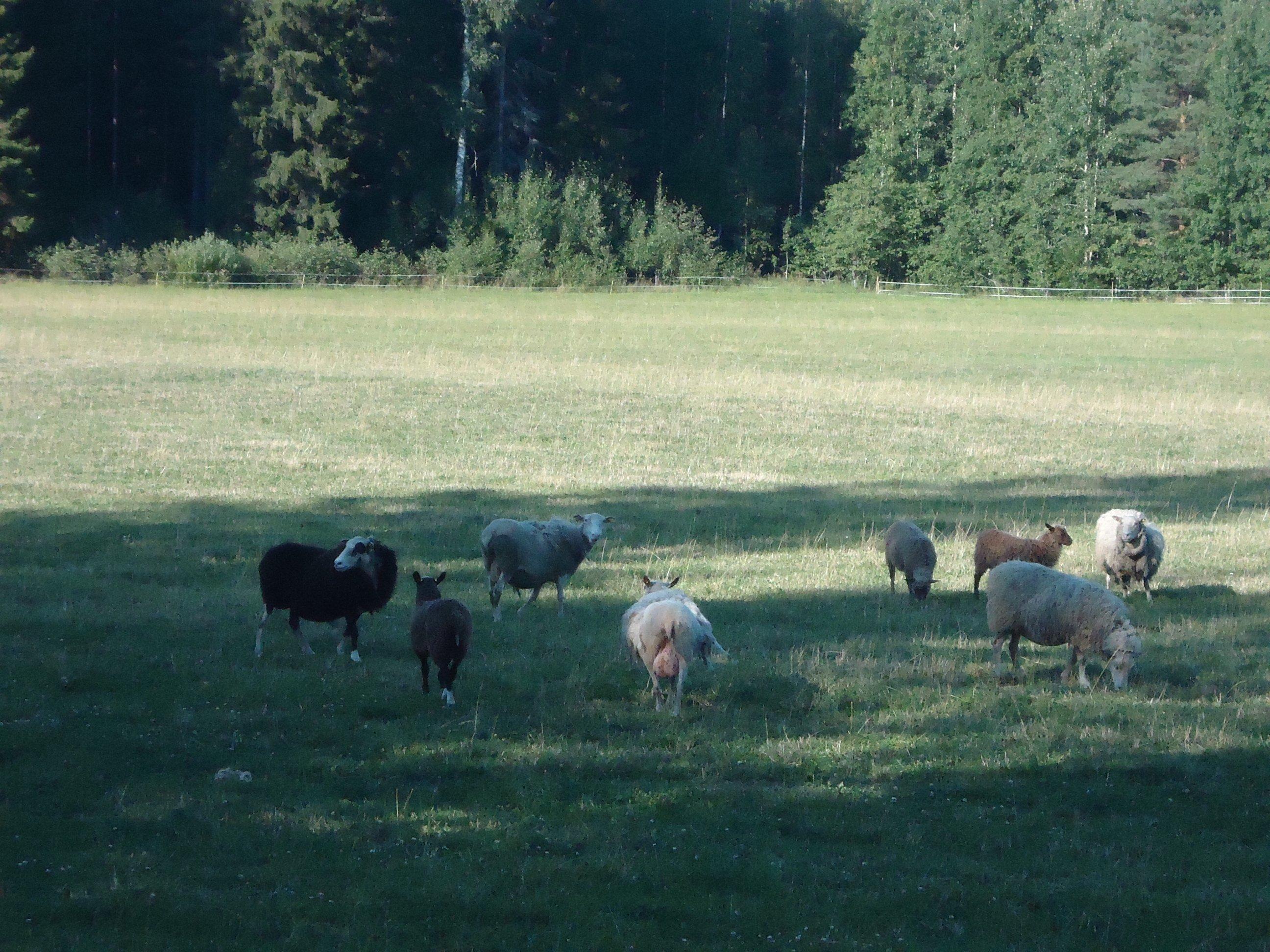 The farm's sheep